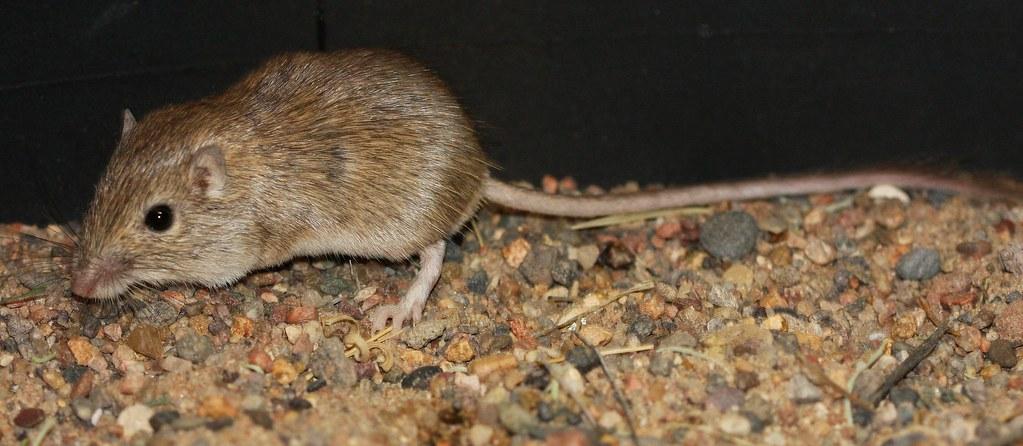 Rock Pocket Mouse Chaetodipus Intermedius Broad Canyon