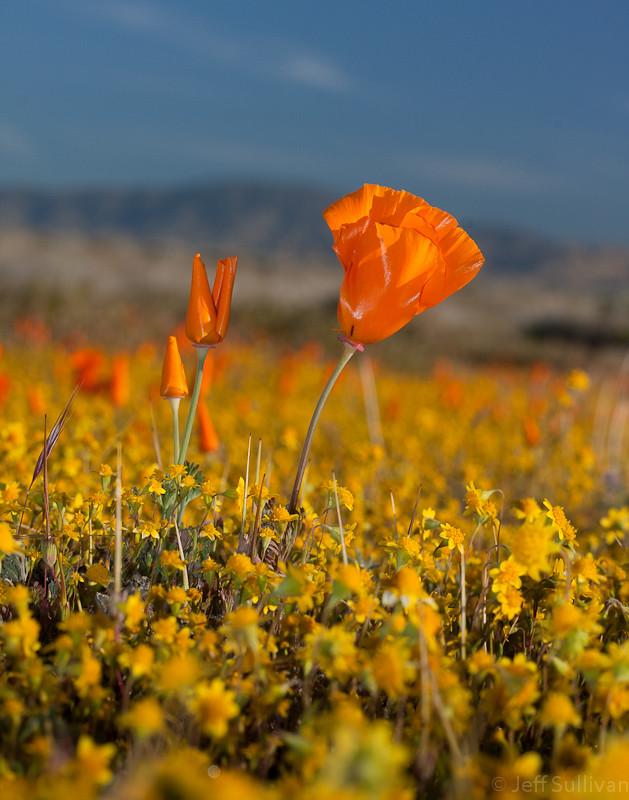 Antelope Valley Poppy | Update April 2014 - I hear tha the ...
