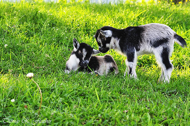 Pygmy Goat Twin Kids | Pygmy goat kid twins, family farm ...