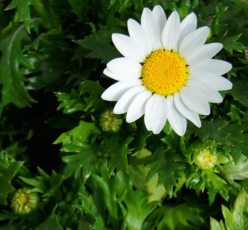 Crisantemo palodosum el centro de jardiner a en valencia for Centro de jardineria