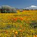 Goldfield, Poppies and Rabbit Brush