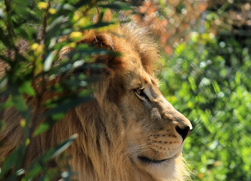 Side profile of a lion | Flickr - Photo Sharing!