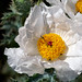 Texas prickly-poppy