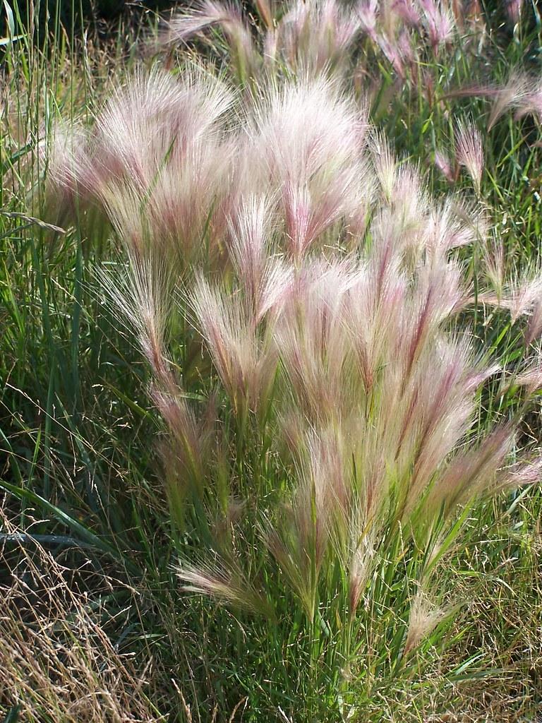 Alaska >> Squirrel Tail Grass aka Fox-tail Barley (Hordeum jubatum) | Flickr