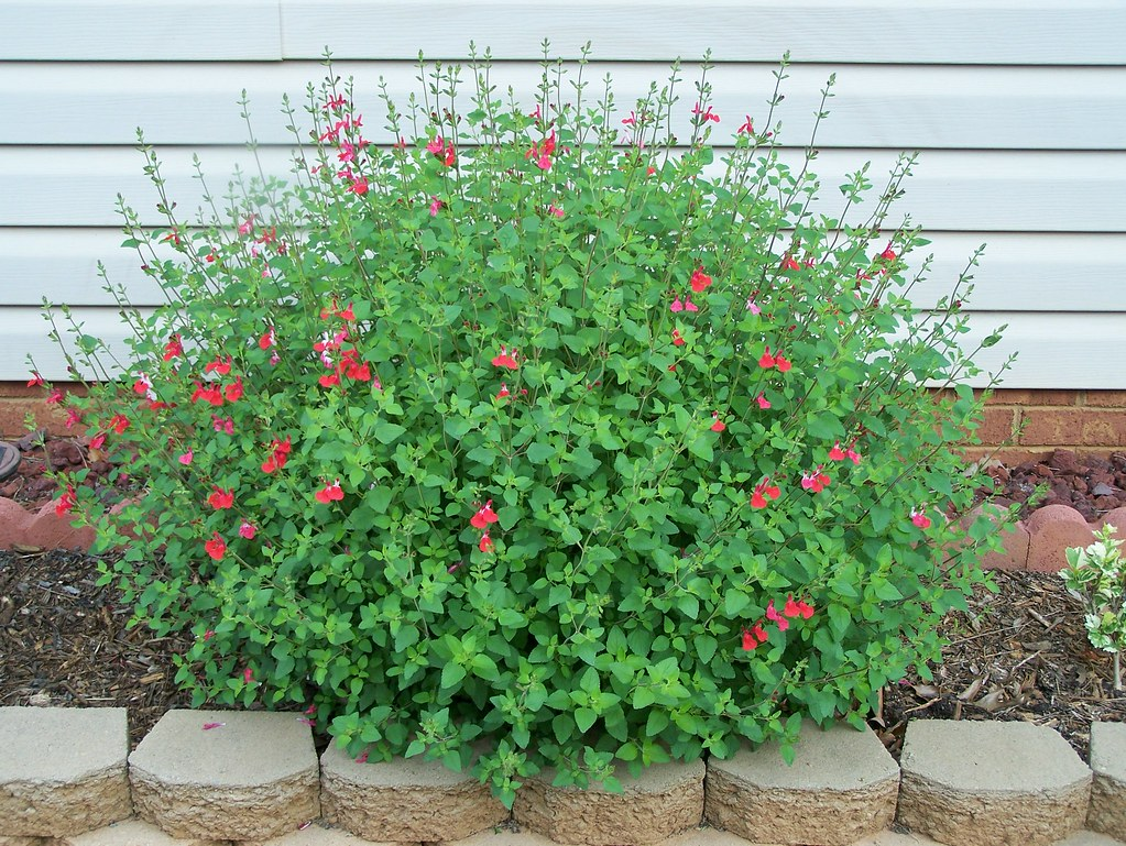 39 hot lips 39 salvia salvia microphylla don 39 t neglect. Black Bedroom Furniture Sets. Home Design Ideas