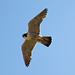 Peregrine Falcon - Adult male