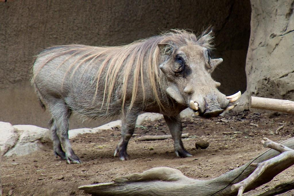 San Diego Zoo >> Isn't he cute? Warthog at San Diego Zoo | Don DeBold | Flickr