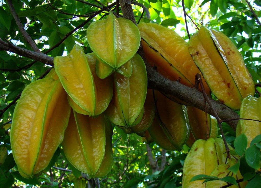 CARAMBOLA / STAR FRUIT #10 | Ripe Carambolas (Star Fruits ...