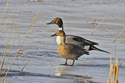 Pintail Pair on Ice | by SomewhereOutside