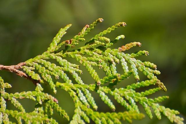 Northern White Cedar ~ Northern white cedar leaves flickr photo sharing