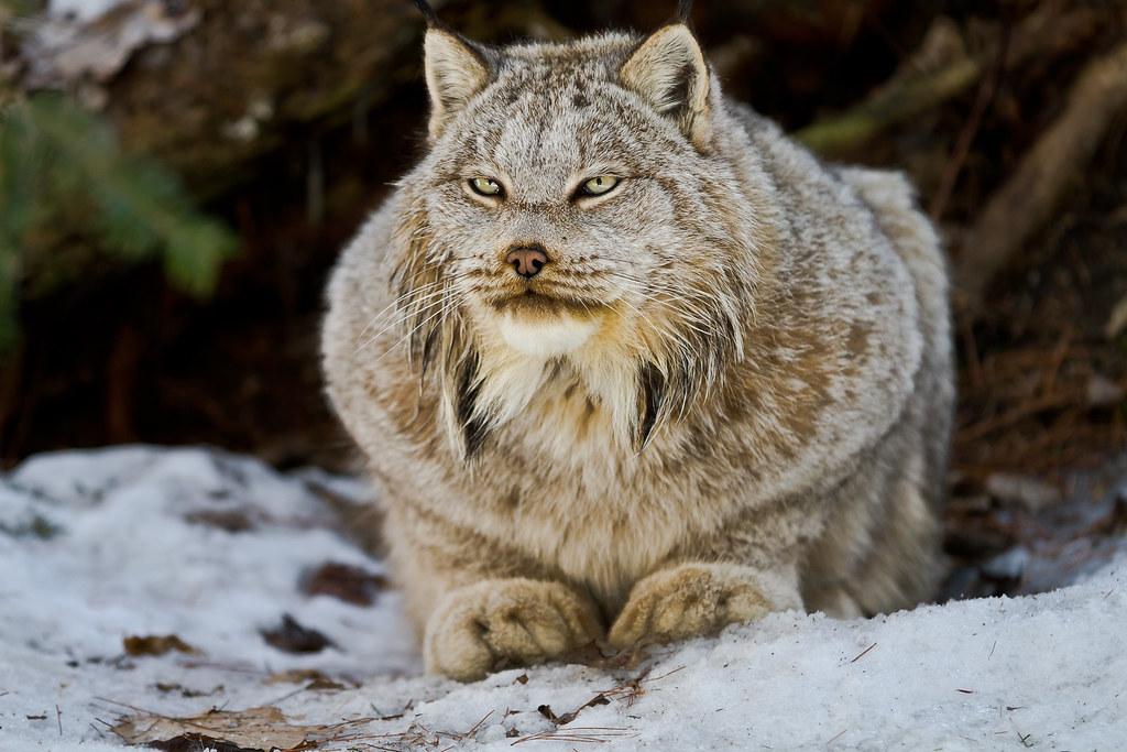 Yeti, a Canada Lynx from the Muskoka Wildlife Centre | Flickr ...