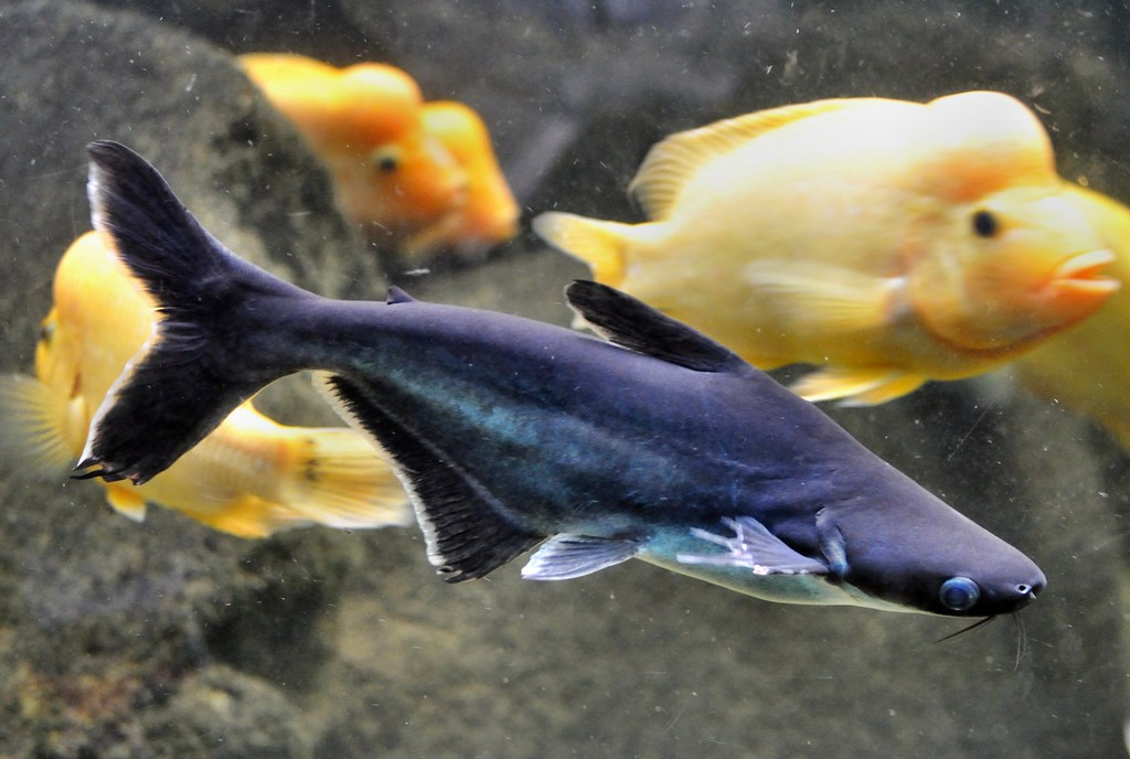 Basa fish pangasius bocourti thomas t flickr for What is pangasius fish