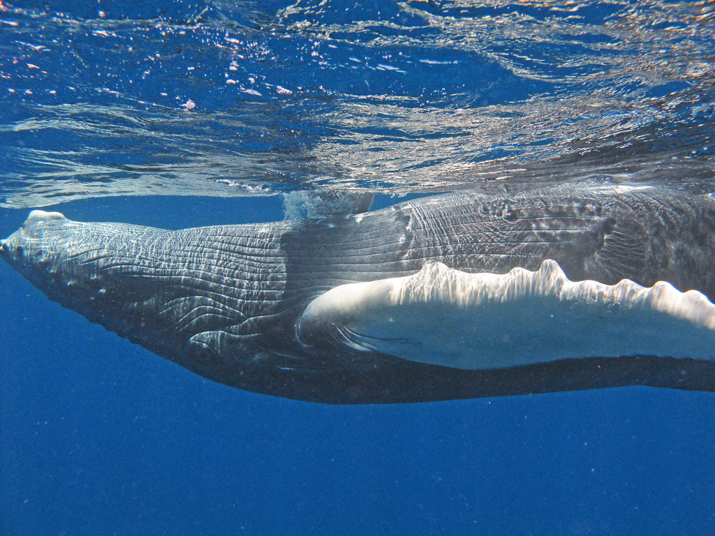 Humpback Whales Underwater | www.imgkid.com - The Image ...