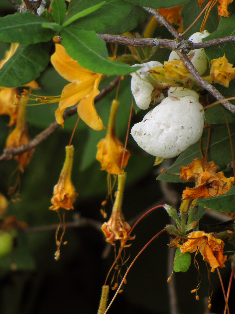 Azalea Fungus Galls These Yellow Green To Cream White To
