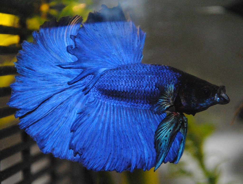 Ohm royal blue betta yawning altairkestral flickr for Betta fish names male blue