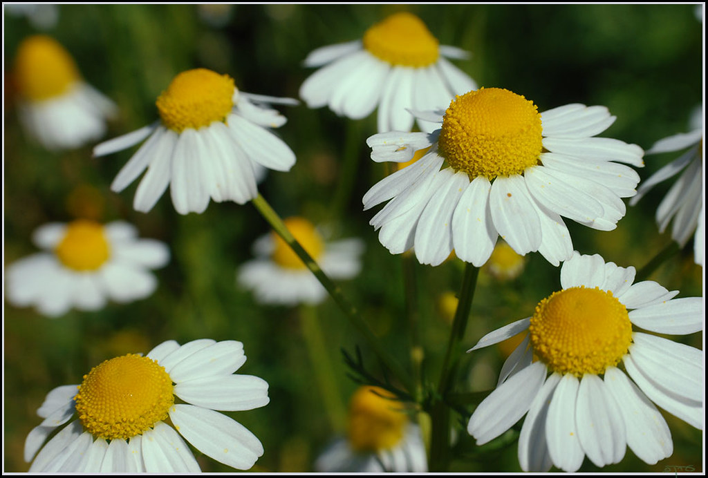 German chamomile - קמומיל גרמני | Matricaria recutita ...