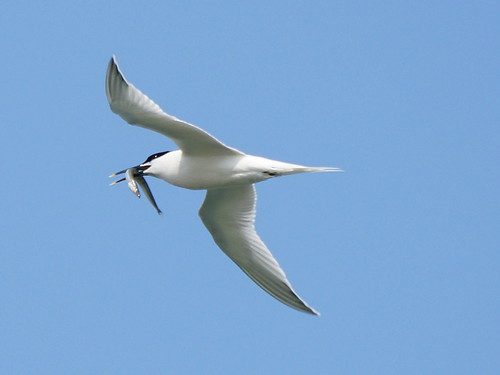 Sandwich Tern's tea! | by SteveJM2009