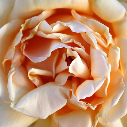 Lush Rosy Goodness | by lizaleemiller