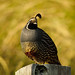California quail in late light