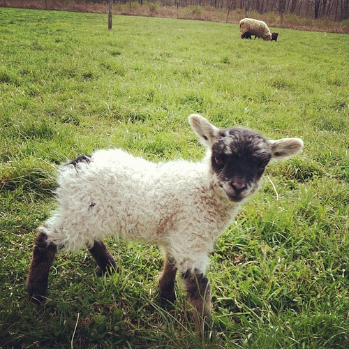 Hello little lamb! | by mayalu