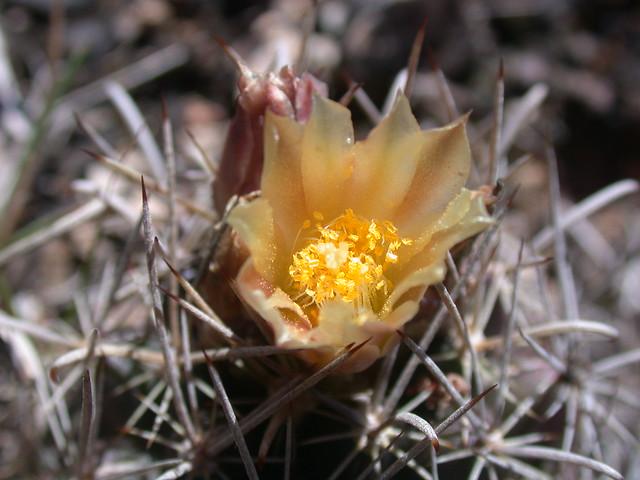Endangered tobusch fishhook cactus ancistrocactus tobusch for Fish hook cactus