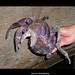 The Coconut Crab ( Birgus latro )