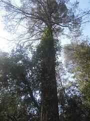 G1-Yessica Vizcaino-Pinus alepensis