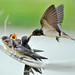 燕子媽媽: 孩子, 一口一口慢慢吃喔! Barn Swallow (Mild Air)