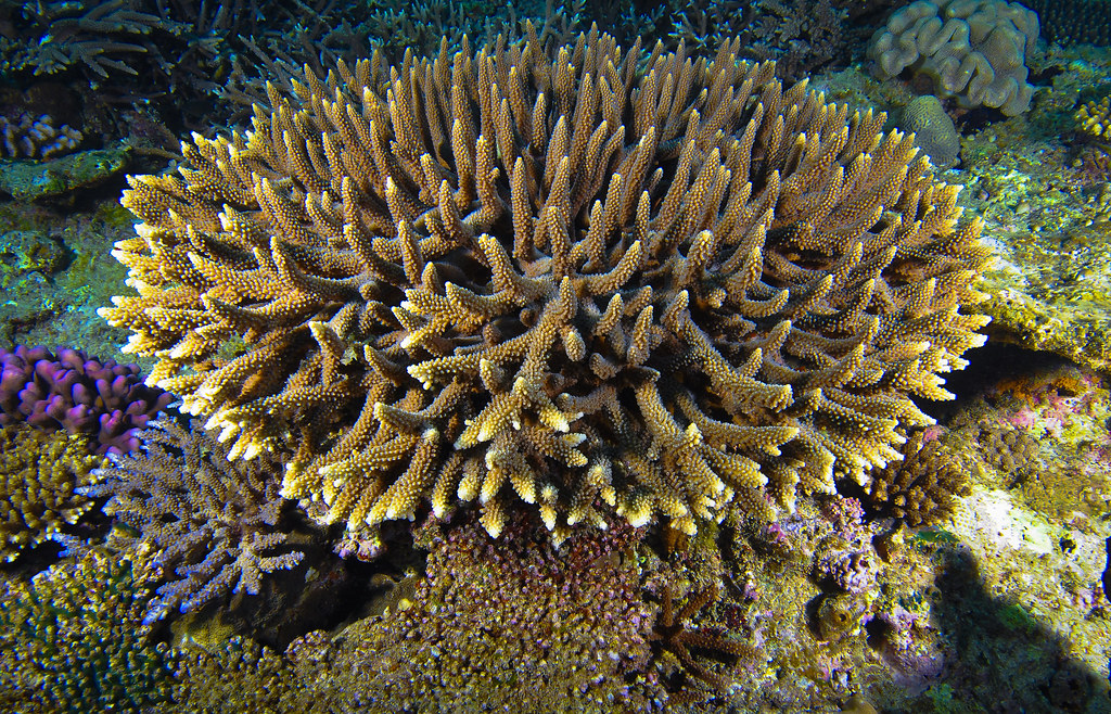 Sango- Coral of the Ryukyu Islands