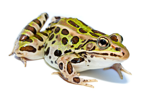 Lithobates pipiens (Northern Leopard Frog) | by brian.gratwicke
