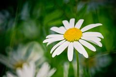 Mirror Daisy