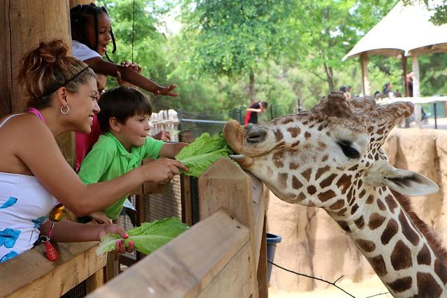 People enjoy feeding giraffe at Dallas Zoo - IMG_1511.JPG ...
