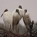 Group of adult wood storks
