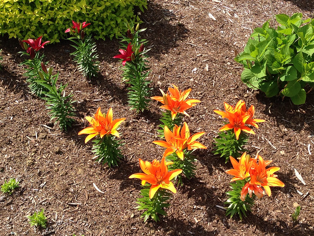 All the orange lilies blooming. Red ones are starting.