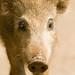 li'l wild boar