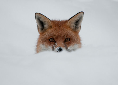 Fox In The Snow Red Fox In The Snow Matt Flickr
