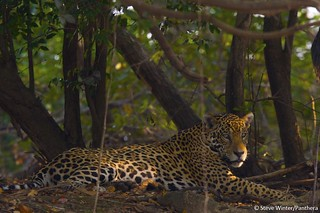 Jaguar resting in the shade | by Panthera Cats