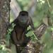 Howler Monkee - Norsara Costa Rica 11-10