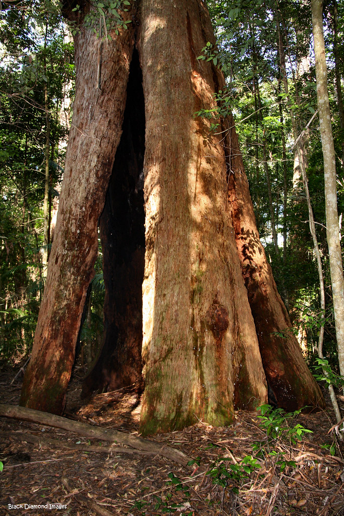 Tree No 3 The Hulk Middle Brother National Park Jo