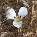 Bruneau Mariposa Lily- Calochortus bruneaunis