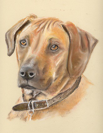 Drawing Of A Rhodesian Ridgeback Dog Pastel Pencil
