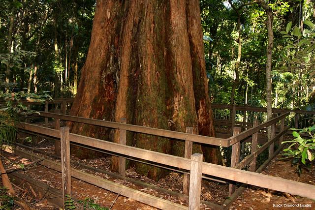 Eucalyptus Pilularis (Blackbutt