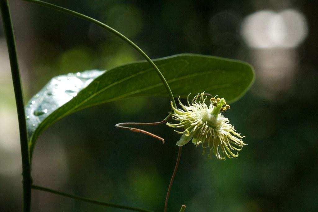 passiflora kuranda 101107-0362