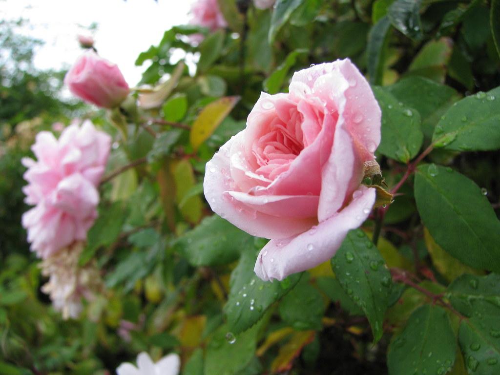 pink climbing roses   Blooming in December   emdot   Flickr