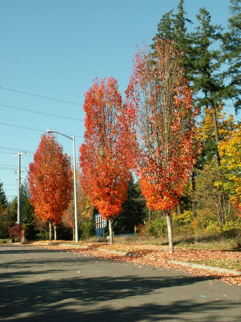 mature red maple