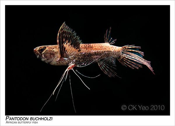 Pantodon buchholzi african butterfly fish ck yeo flickr for African butterfly fish