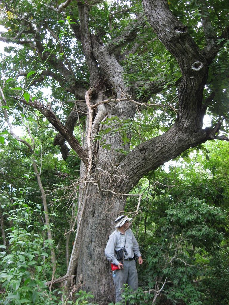 Jamaica Dogwood | Buck Key champion tree | Jenny Evans ...