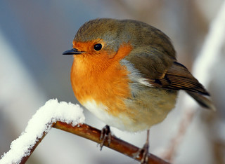 Winter Robin | by SteveJM2009