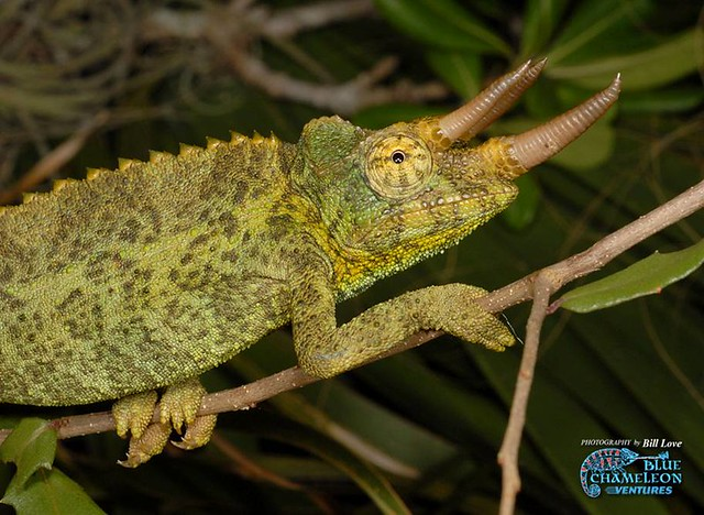Male jackson chameleon - photo#27