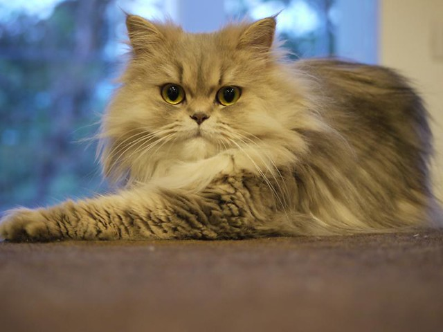 Grey Persian Cat - Chilerito | Flickr - Photo Sharing!